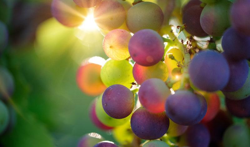 uva-vini-piemontesi-cascina-fiore